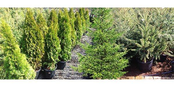 Stále zelené stromy na vašu záhradu