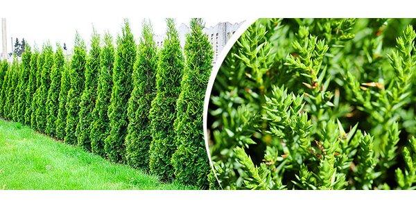 Záhradná tuja Smaragd 27-30 cm