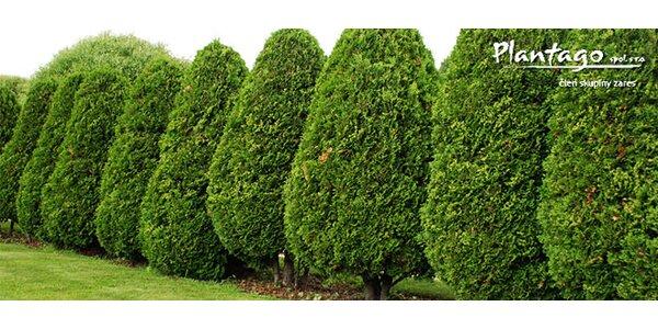 Stromček Thuja occidentalis Brabant 80/100 cm