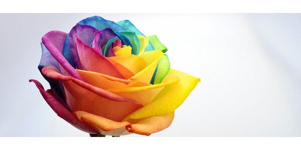 Pestrofarebná ruža
