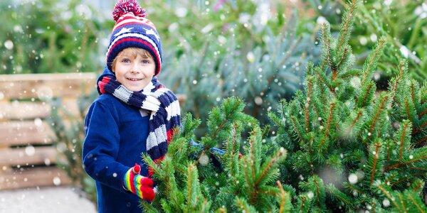Živé vianočné stromčeky: Kaukazská jedľa