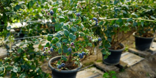 Sadenice šťavnatých čučoriedok – 3 odrody
