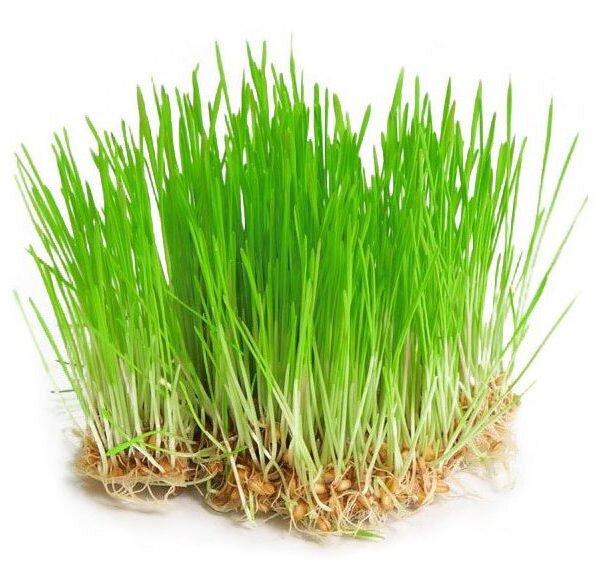 30 g Semená na klíčenie (mladý jačmeň)