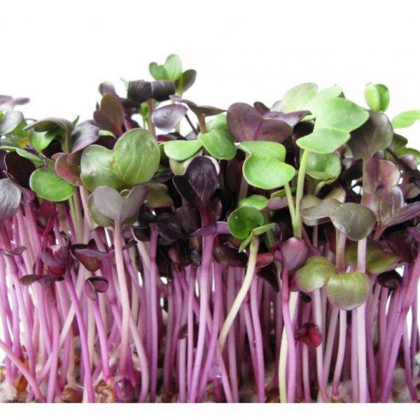 10 g Semená na klíčenie (reďkovka Red Purple)