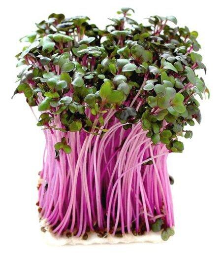 10 g Semená na klíčenie (červená kapusta)