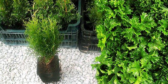 Thuja smaragd alebo mix byliniek