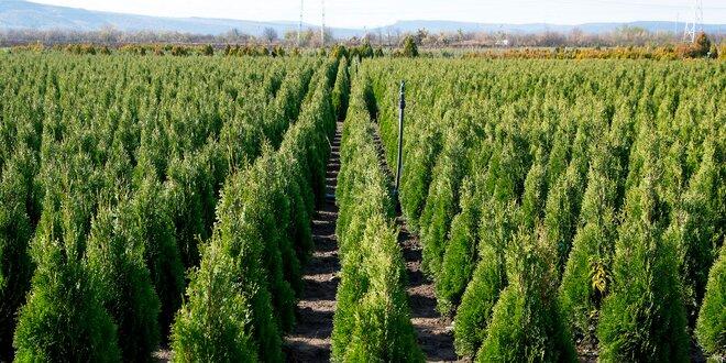 Smaragd vo vašej záhrade. Tuja západná s výškou až do 100 cm!