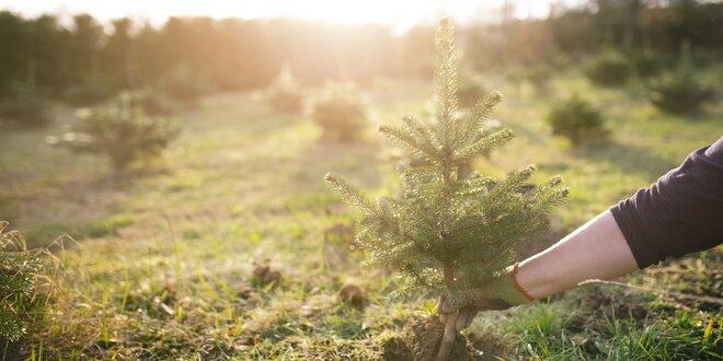 Stromčeky na záhradu – smrek alebo jedľa