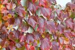 Sadenice levandule alebo paviniču trojlaločného