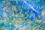 Prírodná pedikúra rybičkami Garra rufa