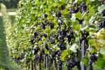 Krása zámkov LEDNICE a VALTICE aj so zábavou na vinobraní vo Valtiaciach