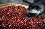 Vzácna cibetková káva: Kopi Luwak 100 % Arabica