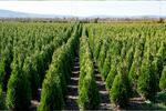 Rýchlorastúce slovenské tuje Smaragd + hnojivo pre tuje smaragd GRÁTIS